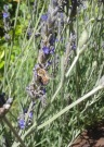 Honey bee on lavendar