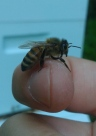 bee rests on finger