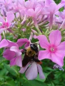 bumble bee in a cluster of pink flowers